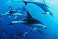 dusky_dolphins_20022005