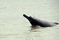 ganges_dolphin_100505