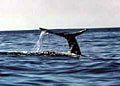 graywhales_010204