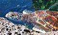 green-turtle_280309
