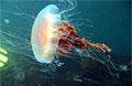 jellyfish_270707