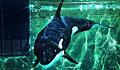 killer-whale_221111