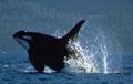 killerwhale_021003
