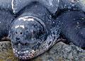 leatherback_010506