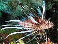 lionfish_251010