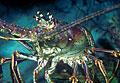 lobster_250506