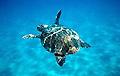 loggerhead_turtle_270905