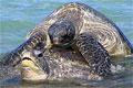 mating-turtles_210910