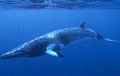 minke-whale_310507