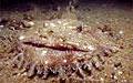 monkfish_110507