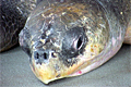 olive-ridley_130308