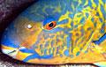 parrotfish_130707
