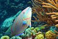 parrotfish_141111