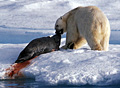 polar-bear_210510