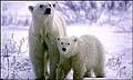 polar_bears_080705