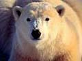 polar_bears_090206