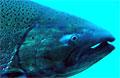 salmon_040408