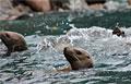 sea-lion_210112