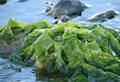 seaweed_280609