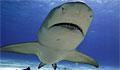 shark-lemon_270308