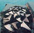 shark_finning_260605