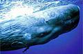 sperm-whale_210208