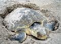 stranded-turtle_080113
