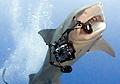 tiger-shark_111010