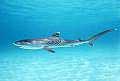tiger_shark_230705