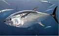 tuna_161006