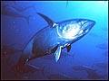tuna_290405