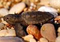 turtle_hatchling_090405