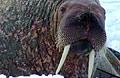 walrus_150507