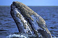 whale-gray_280806