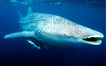 whale-shark_12022005