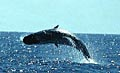 whale_hunt_050605